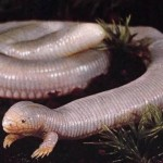 Mexican Mole Lizard, 2-Legged Oddball Wormlike Lizard