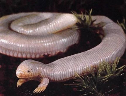 MEXICAN MOLE LIZARD, Bipes biporus, or five-toed worm lizard, looks like an earthworm with two front legs that burrows eats meat. Weirdo!