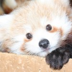 Red Panda Bear Facts and Pictures, Panda Bear Sounds