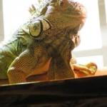 Requiem for Chuck, a 16 Year Old Rescued Iguana