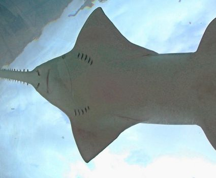 5 Weird Things About Sawfish