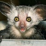 True Aye Aye Facts, Curious Little Lemur Animal Cute or Ugly?