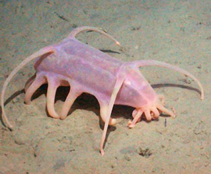 What is a Sea Pig?  Icky Mushy, Mushy Sea Cucumber Thing?