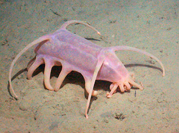 What is a sea pig?