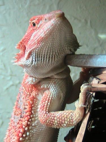 Bearded Dragon named Shirley
