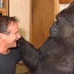 Koko the Gorilla Mourns Robin Williams Death, 8-11-2014
