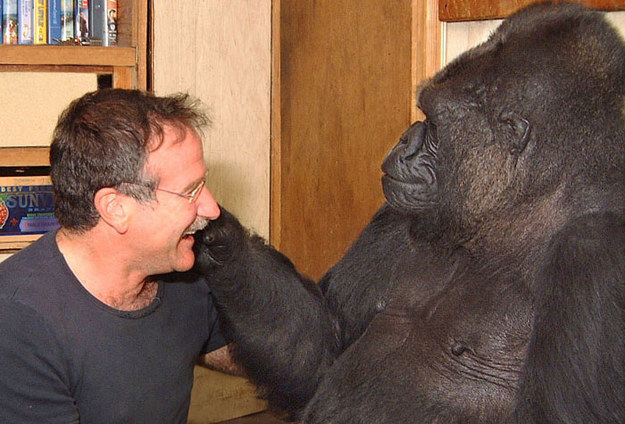 Koko the Gorilla Mourns Robin Williams Death