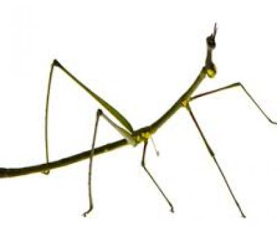 Stick Insects as Exotic Pets? The low-down on Stick Insects