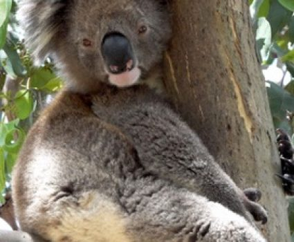 Why Do Koalas Hug Trees?  The Answer May Surprise You!