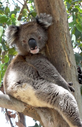 Why Do Koalas Hug Trees? It seems that the recent onslaught of heat waves in Australia is causing the koalas to develop a new behavior.
