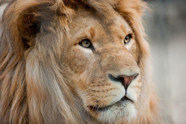 Wildlife Sanctuaries in Sri Lanka, Lion