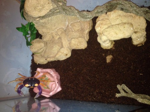 Halloween Moon Crab, Sebastian