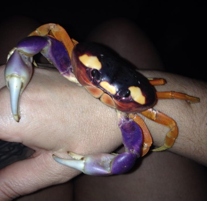 Do Halloween Moon Crabs Make Good Pets?
