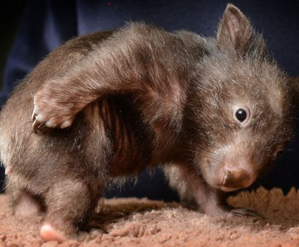 Unique Wombat Facts You Will Want to Share, Trust Me