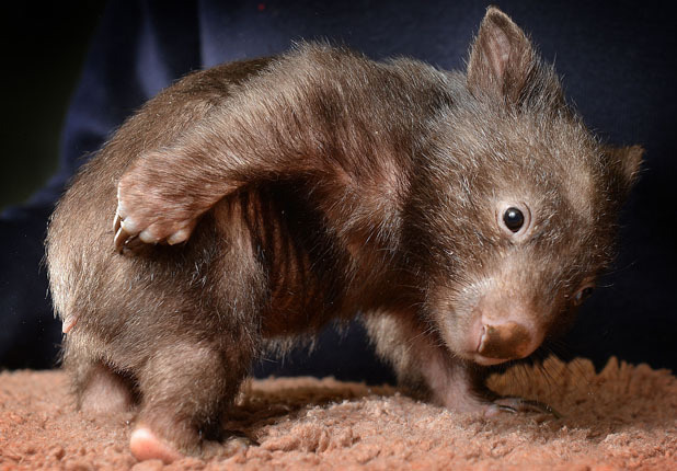 Unique WOMBAT facts