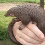 Cool Facts About the Pangolin, Is it a reptile?  No.  What then?