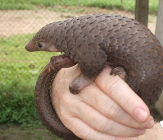 Cool Facts About the Pangolin