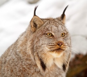 Canada Lynx Victory, 25 Million Acres Won in Six States