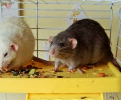Cardboard Boxes and Rats, Pet Rats