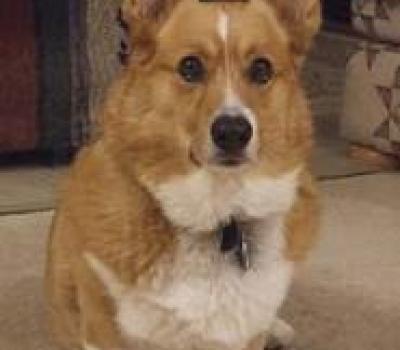 Corgi Dancing For Kibble, The Best of Sparky the Corgi Dog