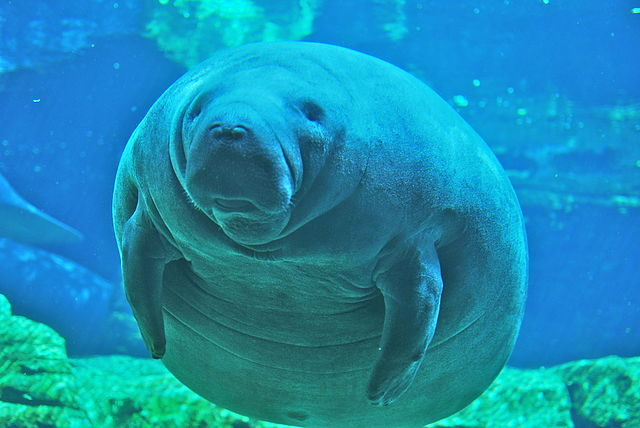 Manatee-Deaths-Rising-After-Increased-Dock-Permitting