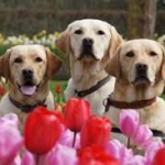Guide Dogs for Veterans With Post Traumatic Stress Disorder