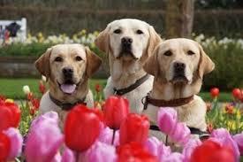 Guide Dogs for Veterans