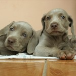 7 Questions to Ask Breeders Before Buying a Puppy