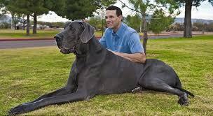 Zeus, Worlds Tallest Dog Dies at Age 5