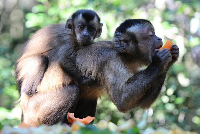 Capuchin Monkeys Do These Primates Make Good Pets