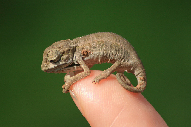 Do Chameleons Make Good Pets? What You Need to Know