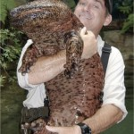 Giant Salamander from River in Japan a Curious Sight