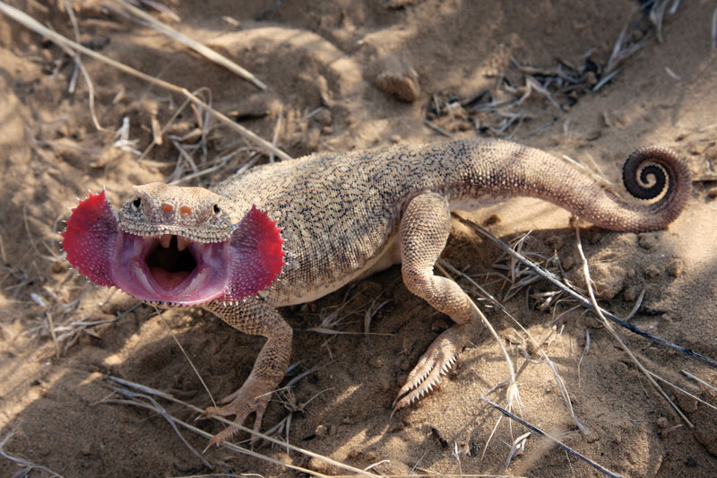 Secret Toadhead Agama, What Surprise Are They Hiding?