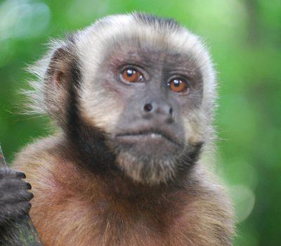 Capuchin Monkeys, Do These Primates Make Good Pets?