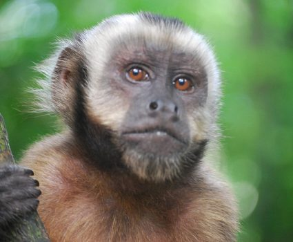 Capuchin Monkeys, Do These Primates Make Good Pets?