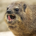 Rock Hyrax : Hyrax Closest Living Relative to the Elephant?