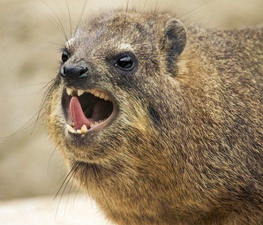 Rock Hyrax, the closest living relative to the elephant?