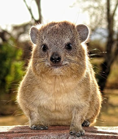 Rock Hyrax, the closest living relative to the elephant