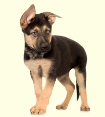 5 Health Care Tips for German Shepherds