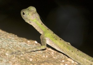 Draco Lizard, Can these lizards really fly?