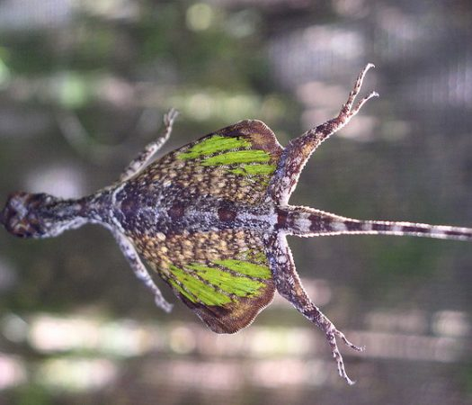 Draco Lizard, Can this tiny lizard really fly? Find out why, and how, these little dragons can become airborne. Who knew?!