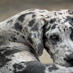 Which Dog Breeds are Prone to Canine Hip Dysplasia?