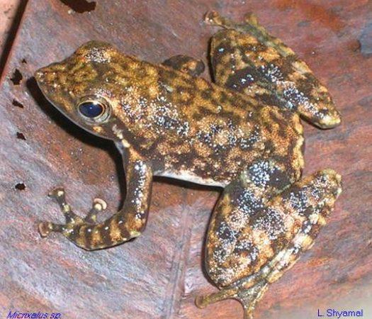 Indian Dancing Frogs