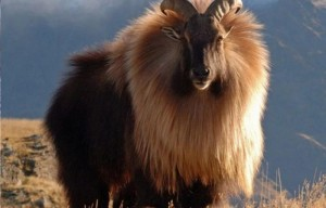 The Himalayan tahr is a close relative of the wild goat and sheep. They have specially adapted to life on the rugged mountain slopes of the Himalayas.