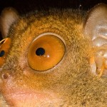 Fun Facts About the Philippine Tarsier, Those Eyes!