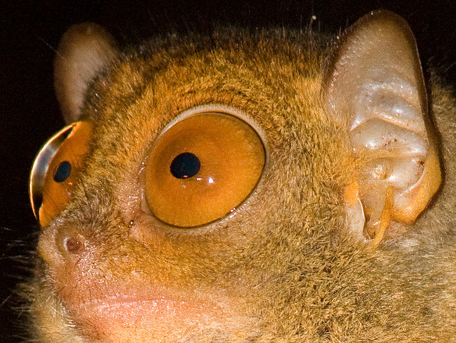 Unique Island Animals : Evolution and Mutation : Fun Facts About the Philippine Tarsier, Those Eyes!