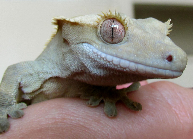 When a gecko loses its tail