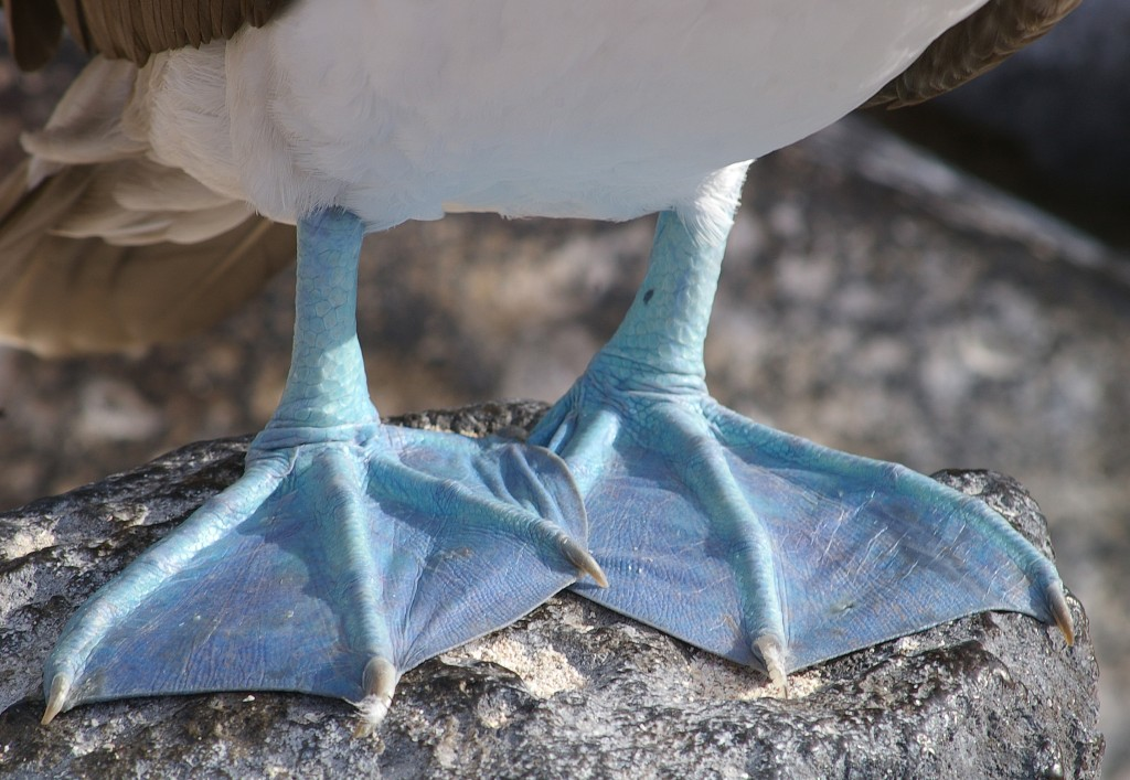 Blue Footed Booby Facts