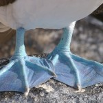 Blue Footed Booby Facts, Look at Those Sexy Feet!