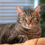 Cats and Feline Diabetes, Symptoms and Treatment
